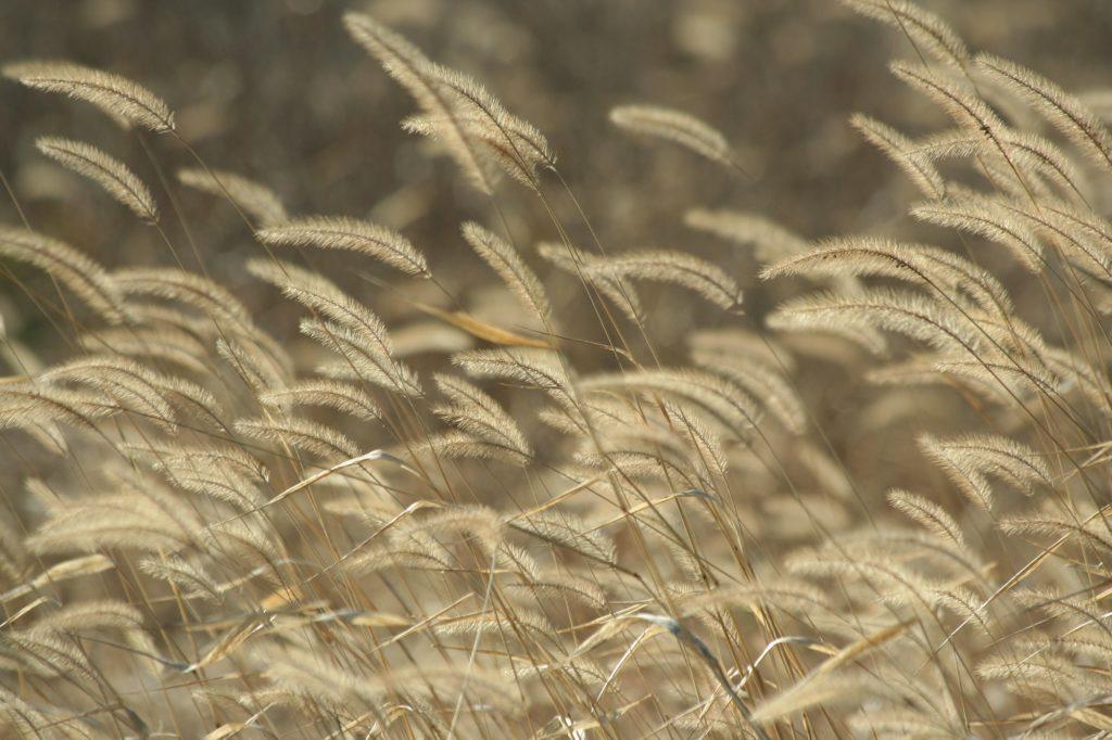 Foxtail weeds in autumn