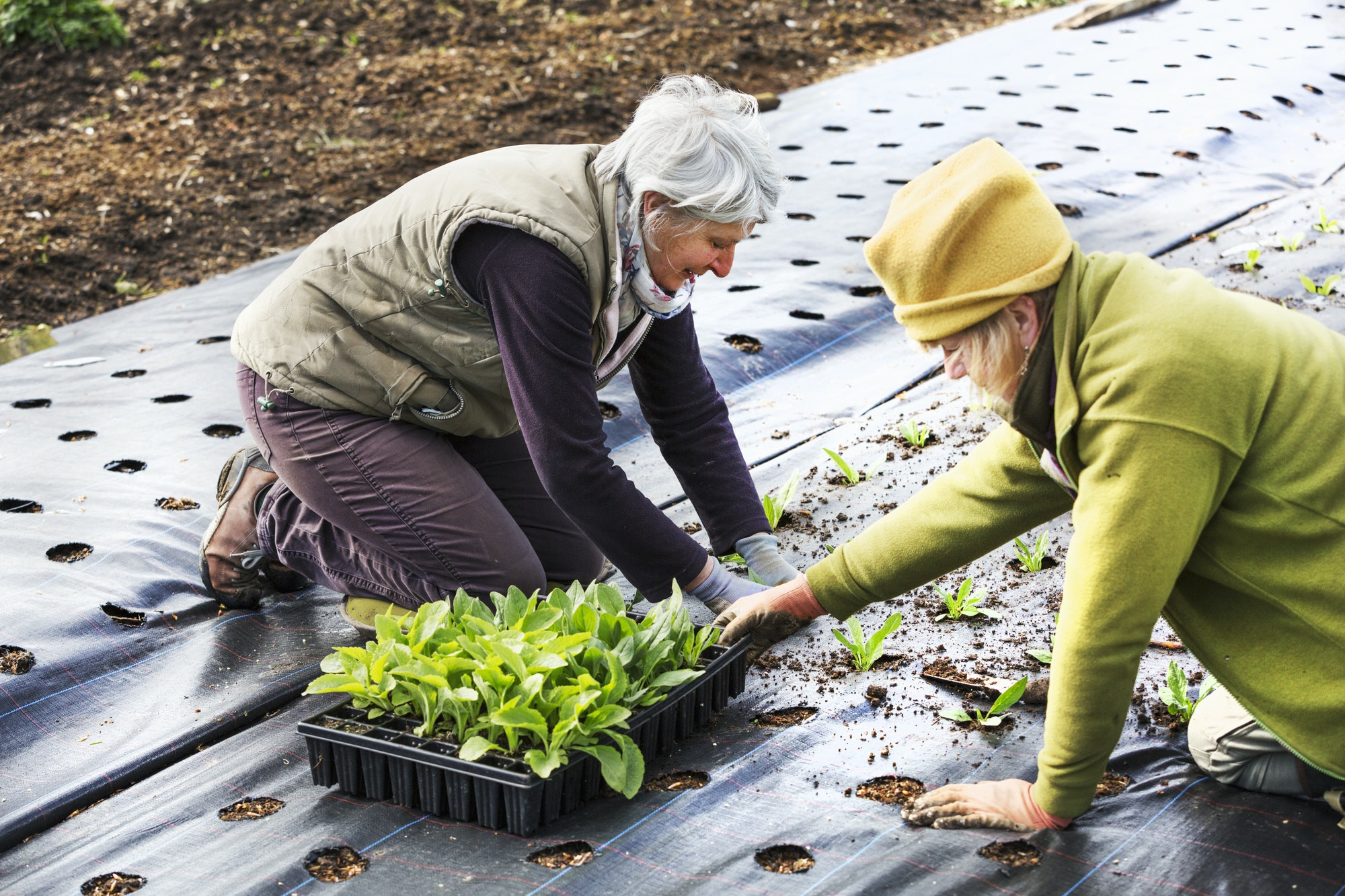 Two people planting seedling plant plugs into the soil, in holes created in moisture retaining weed