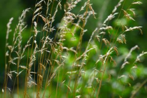 Weed grass in the sunlight